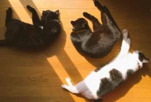 ふーみん宅の猫ちゃん。左からデミ、うーたん、ごましおです!